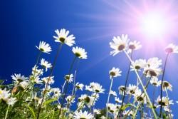 midsomma-blommor